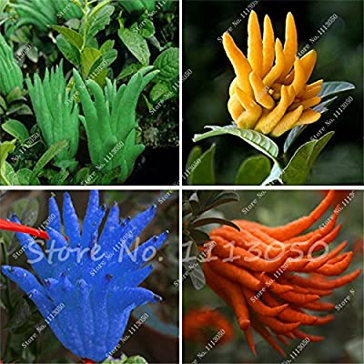 New 50 Pcs Bergamot Seeds, Family Potted Plants, Colourful Buddha Hand Seeds, Purify Air, Tropical Fruit Seeds DIY Potted Plant : Garden & Outdoor