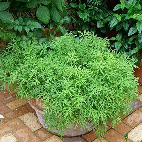 Amazon Com 1 Citronella Geranium Plant Mosquito Plant Geranium