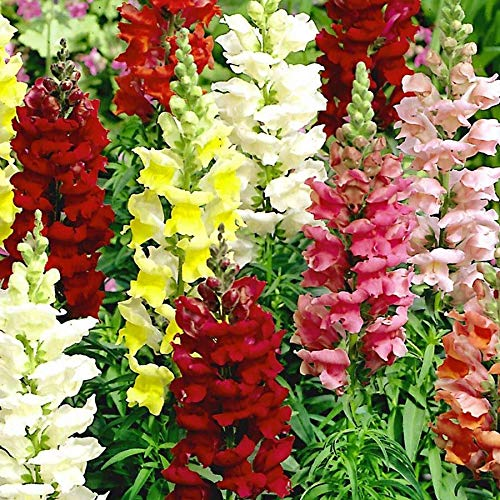 (Tetra Snapdragon Seed Mix- 2000 Premium Heirloom Seeds- Beautiful Bright and adds Color to Your Home Garden! - Antirrhinum majus - (Isla's Garden Seeds) - Highest Quality)