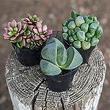 Altman Plants Assorted Live mini Mimicry Rock