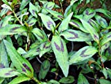 "Vietnamese Coriander Plant - rau ram - daun kesom - 4"" Pot"