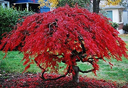 Amazon Com Tamukeyama Red Weeping Laceleaf Japanese Maple 2