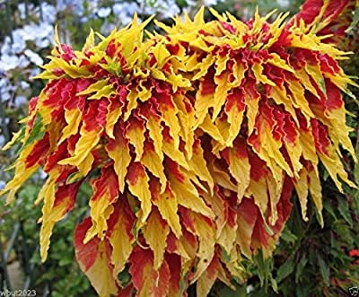 500 Seeds - Amaranthus Perfecta Seeds Tall Yellow And Red Bright Foliage Plant