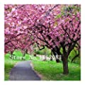 japanese seeds flower seeds 100pcs/lot Cherry Blossoms tree Seeds Sakura Seeds,Colour cherry Free Shipping