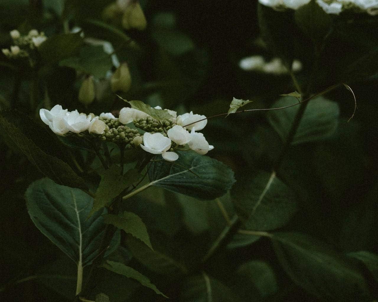 Kpoiuy Paquete De Pintura por NúMero En Lienzo Pintura Al óLeo DIY JazmíN Flores Florecimiento Arbusto Planta Cuadros Pintados A Mano del Arte del Colorante De AcríLico para La Sala De Estar