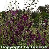 Phönizische Königskerze Violetta - Verbascum phoeniceum
