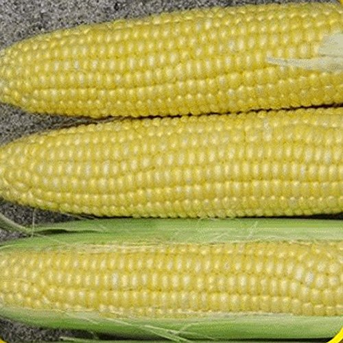 Everwilde Farms - 1 Lb Honey Select Hybrid Sweet Corn Seeds - Gold - Pound 1 Corn