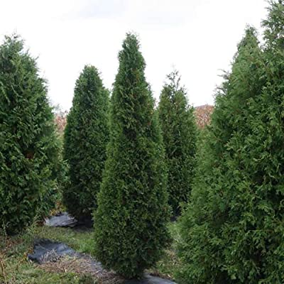 "Stonehenge Yew Taxus x Media - 4"" Pot - Proven Winners : Garden & Outdoor"