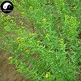 Shopmeeko Buy St. Johnwort Herb Semente 100pcs Plant Hypericum Perforatum Guan Ye Lian Qiao