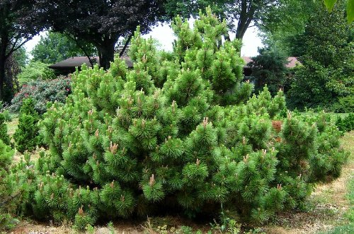 Yatsubusa Japanese Black Pine 3 - Year Graft