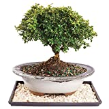 Brussel's Dwarf Kingville Boxwood Bonsai - Medium (Outdoor) with Humidity Tray & Deco Rock