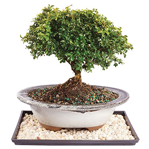 Brussel's Dwarf Kingville Boxwood Bonsai - Medium (Outdoor) with Humidity Tray & Deco (Boxwood Bonsai Tree)