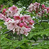 Cassia javanica Apple Blossom Tree Seeds (ES 11)