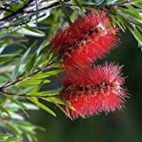 Crimson Bottlebrush Tree Seeds (Callistemon Citrinus) (30)