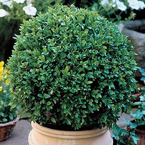 Green Velvet Boxwood - Quantity 10 Live Plants in Quart Pots by DAS Farms (Best Shrubs For Zone 6)