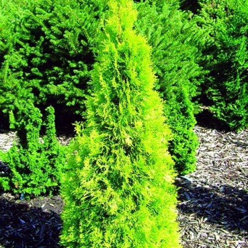 polar-gold-tm-arborvitae-thuja-evergreen-proven-winners-4-pot