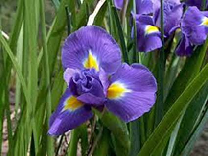 Amazon Com Iris Bulb 20 Pack Twilight Purple Perennial Iris