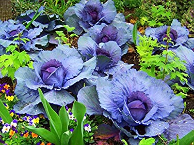 Cabbage Seeds - BLUE - CHINESE NAPA - F1 Hybrid - Rare Vegetable - 25 Seeds