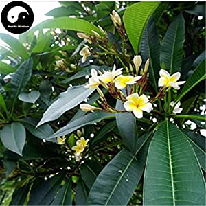 Buy Plumeria Rubra Tree Seeds 60pcs Plant Yolk Flower For Egg Flower