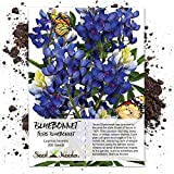 Package of 200 Seeds, Texas Bluebonnet (Lupinus texenis) Non-GMO Seeds By Seed Needs