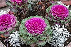 Ornamental Cabbage Seeds Bakhromchataya Annual Decorative Plant
