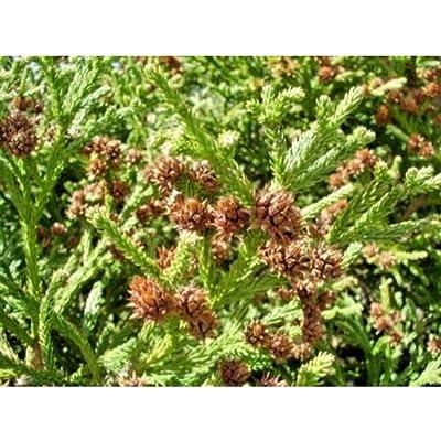 20 Gyokuryu Japanese Cedar Seeds #RDR02 : Garden & Outdoor