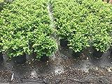 Viburnum suspensum, Sandankwa Viburnum - 3 Gallon Live Plant - 4 pack