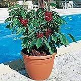"""Dwarf Cherry Tree """"20-seeds"""" - Dwarf Weeping Cherry Tree Seeds"""