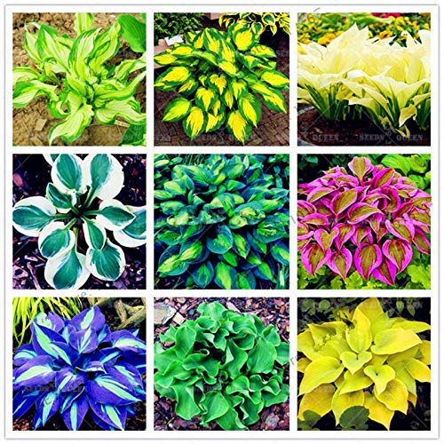 (200pcs/pack Japanese hosta Seeds perennials Plantain Beautiful Lily Flower Home Garden Ground Cover Plants Gardening Decoration: Mix )