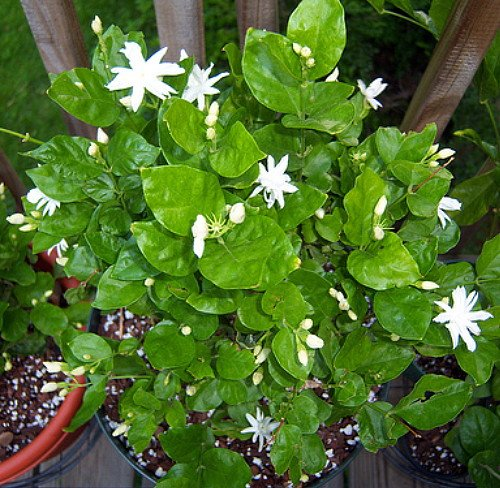 Arabian Tea Jasmine Plant - Belle of India - Sambac - 3'' Pot