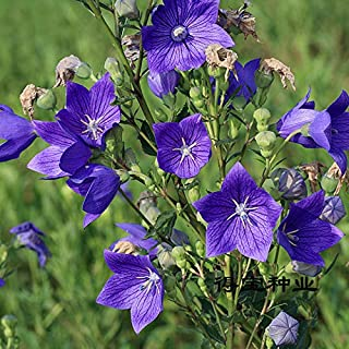 Pinkdose Limitata Speciale fioritura Piante Bonsai campanulaceae Bonsai qiao Burden Fiori Possono Essere Piante in Vaso 100 pz (ju geng)