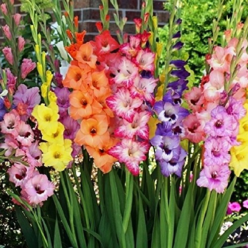 Gladiolus Mix - Gladiolus Flower Bulbs - Rainbow Mix - Bag of 20, Mid Summer/Mixed Colored Flowers