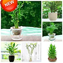 New Arrival! Seeds 2016!6 Kinds Lucky Bamboo Choose Potted Seeds Variety Complete Dracaena Seeds the Budding Rate 95%, 100 PCS/Pack