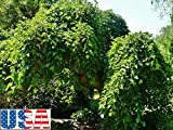 AGROBITS 20 Seeds: USA Seller Weeping Mulberry 20-160 Seeds Heirloom Non-GMO (Ornamental Edible)