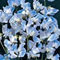 Portal Cool Flower Sweet Pea Spencer Blue Ripple 40 Finest Seeds #4272