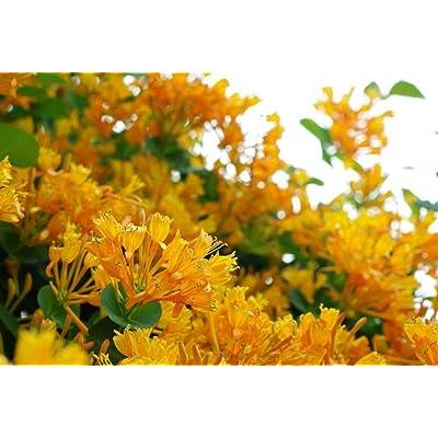 LONICERA 'Mandarin' - Honeysuckle Vine - Starter Plant : Garden & Outdoor
