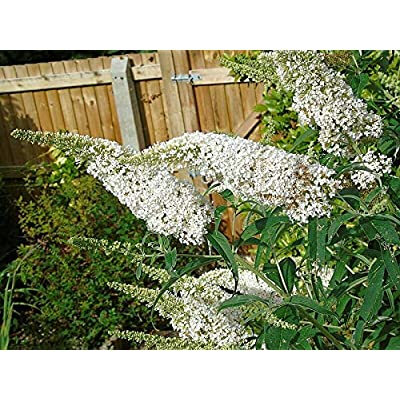 Details About Butterfly Bush Snow White, 210+ Seeds, BUDDLEIA, EZ to Grow, Scented Flowers. : Garden & Outdoor