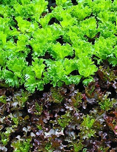 Semillas de lechuga Lollo Rossa - Lactuca sativa - 950 semillas ...