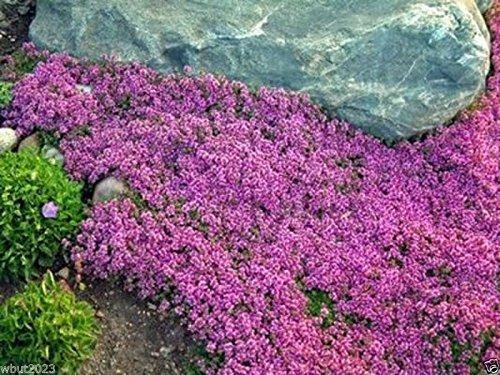 300 Seeds Creeping Thyme Seeds - Magic Carpet - Thymus Serpyllum - Perennial Ground Cover by eightplant