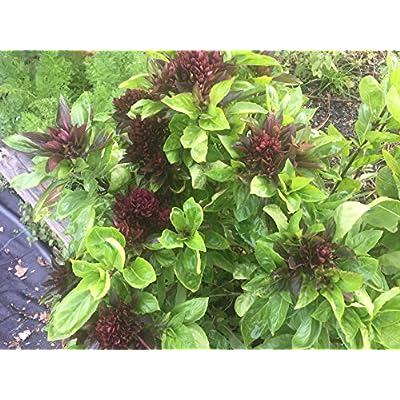 Cardinal Basil, Ocimum basilicum, Organic, GMO Free, 75 Seeds Per Pack, Heirloom, Medicinal Seeds, Basil, : Garden & Outdoor