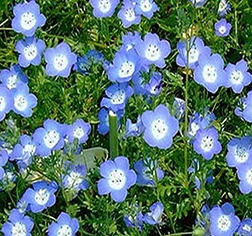 Baby Blue Eyes Flower Seeds ~ Nemophila menziesii , Full Sun to Partial  Shade , Bright Blue Flowers (001000 Seeds , 1000 Seeds , Pkt. Size)