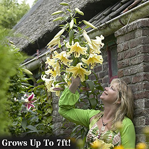 yellow pack of 5 bulbs size Skyscraper Lily 'Conca d'Or'