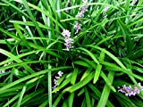 250 MONKEY GRASS PLANTS - LILIROPE, BARE ROOT, VERY FAST GROWING HARDY PERENNIAL