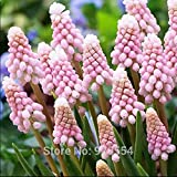 2pcs/lot Muscari armeniacum 'pink' Grape hyacinth bulbs bonsai plant DIY home garden #M002