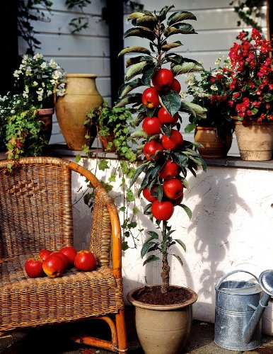 Säulenapfel Rotbäckchen (syn McIntosh), 1 Pflanze