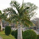 Cutdek Spindle Palm Tree Seeds (Hyophorbe verschaffeltii) 10+Seeds