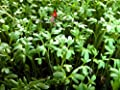 Pepper Cress Seeds Curled Grass Garden Herb Microgreen Sprout 1600 seed