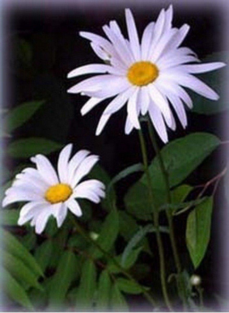 Shasta Daisy- 200 Seeds