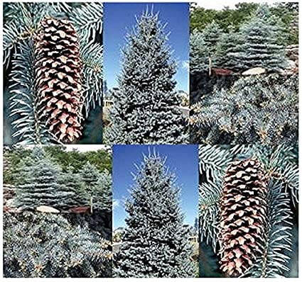 Picea glauca 20 WHITE SPRUCE TREE SEEDS