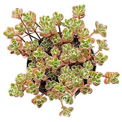 Sedum Spurium Succulents Tricolor (4 inch) : Garden & Outdoor